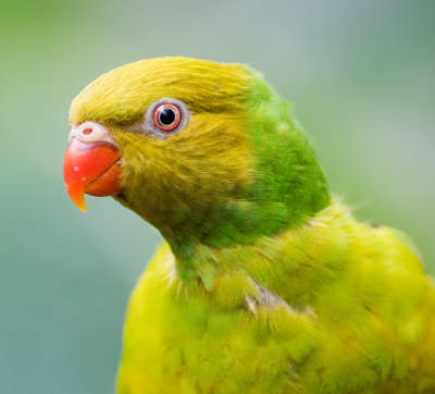 Yellow-Green Parrot