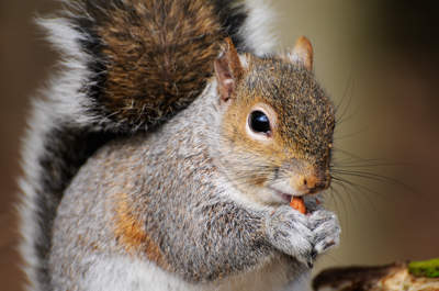 Portrait of Grey Squirrel